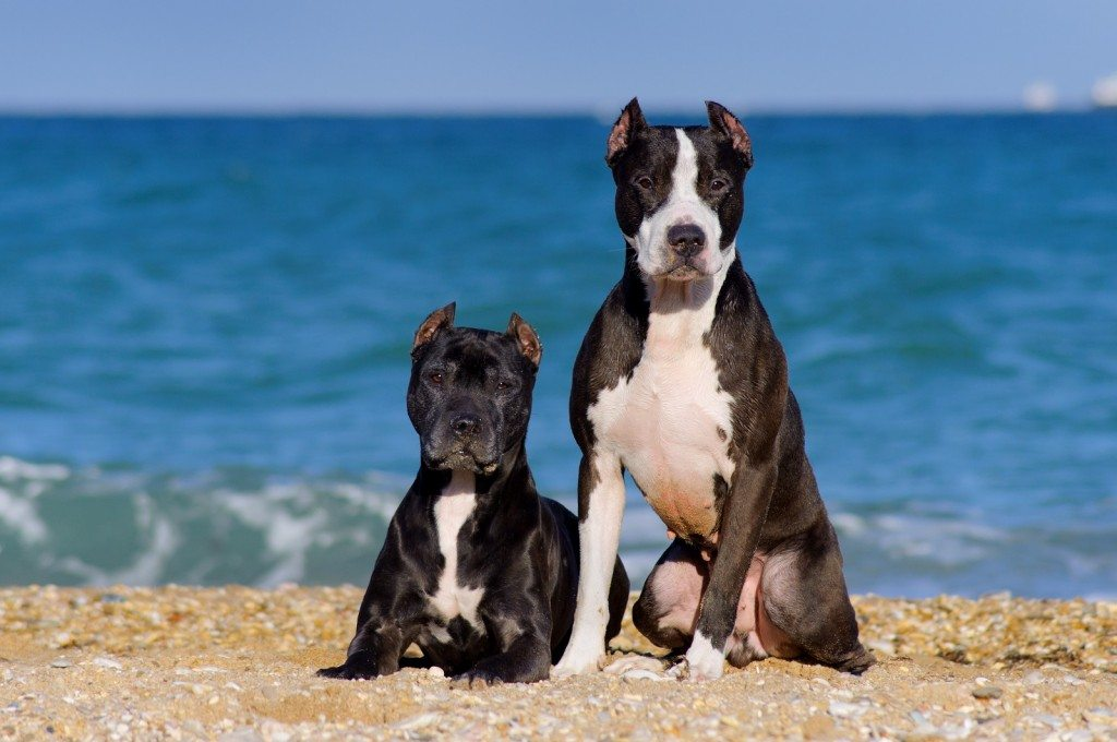 Pitbull terriers Lucky Couple