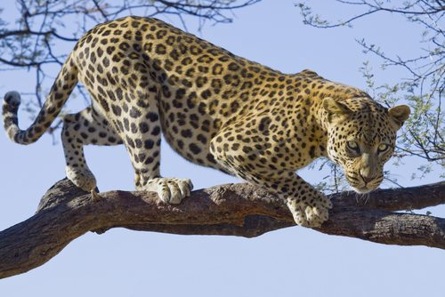 Leopards are incredibly strong and agile