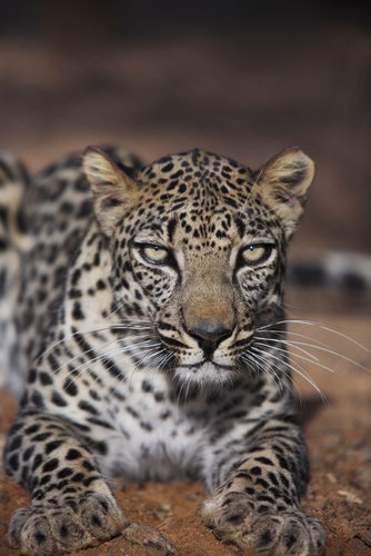 Leopards coat color depends on their geography