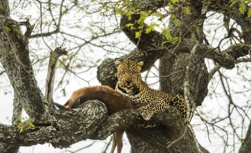 Leopards like to eat in trees alone.